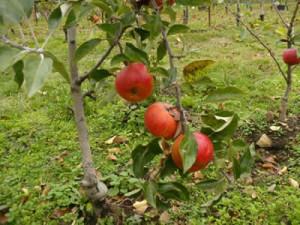 apples_ravenskill